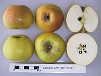 Cross section of Edmund Jupp, National Fruit Collection (acc. 1957-001).jpg