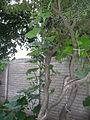"Cucurbita argyrosperma ""calabaza rayada o cordobesa"" (Florensa) hábito disposición hojas y yemas en guía vertical.JPG"