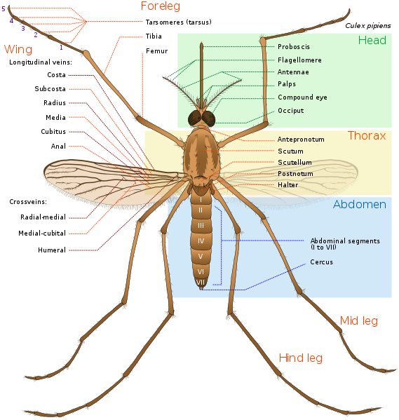 Illustration showing the anatomy of a mosquito (Culex pipiens)