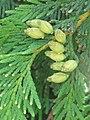 Cupressus sp. - čempres 2.jpg