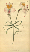 Curtis's Botanical Magazine, Plate 3040 (Volume 58, 1831).png