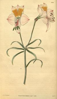 Curtis's Botanical Magazine, Plate 3040 (Volume 58, 1831)