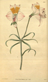 Curtis's Botanical Magazine, Plate 3040 (Volume 58, 1831).png