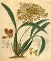 Curtis's Botanical Magazine, Plate 3109 (Volume 58, 1831).png
