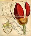 Curtis's Botanical Magazine, Plate 4277 (Volume 73, 1847).jpg