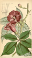 Curtis's Botanical Magazine, Plate 4305 (Volume 73, 1847).png