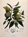 Custard apple or Sweetsop (Annona squamosa L.); fruiting bra Wellcome V0042683.jpg