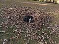 Cute Dog in Leaves.jpg