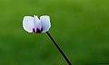 Cyclamen coum. Een witte zaailing. Locatie, Tuinreservaat Jonkervallei 01.jpg