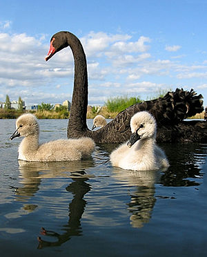 A Black Swan adult with chicks swimming on a l...