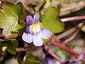 Cymbalaria muralis (flower).jpg
