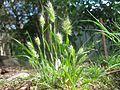 Cynosurus echinatus plant1 (7100862409).jpg