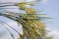 Cyperus papyrus 10zz.jpg