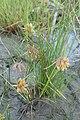 Cyperus squarrosus kz04.jpg