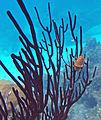 Cyphoma gibbosum (flamingo tongue snail) (San Salvador Island, Bahamas) 2 (15957521337).jpg