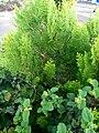 Cypress, limbe.jpg