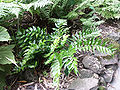 Cyrtomium falcatum vue générale.jpg