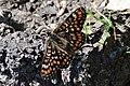 DSC 0105 Euphydryas maturna.jpg