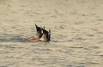 Anatinae - Spot billed ducks dabbling