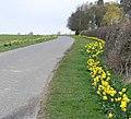 Daffodils along Orton Lane - geograph.org.uk - 743196.jpg