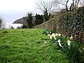 Daffodils point to Elberry Cove, Torbay - geograph.org.uk - 714024.jpg