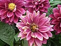 Dahlia from Lalbagh Flower Show August 2012 4620.JPG