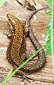 Danish Lizard (2214866196).jpg