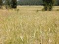 Danthonia intermedia - timber oatgrass - Flickr - Matt Lavin (2).jpg