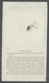 Daphnia pulex - - Print - Iconographia Zoologica - Special Collections University of Amsterdam - UBAINV0274 099 06 0006.tif