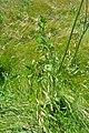 Daucus carota - whole plant (18652541348).jpg