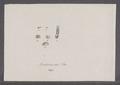 Daudebardia rufa - - Print - Iconographia Zoologica - Special Collections University of Amsterdam - UBAINV0274 089 07 0002.tif