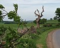 Dead tree on Pinfold Hill - geograph.org.uk - 815916.jpg