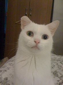 Deaf White Persian Cats