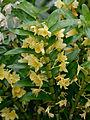 Dendrobium nobile 1001 Orchids.jpg