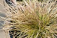 Deschampsia cespitosa Northern Lights 0zz.jpg