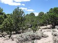 Desert Juniper, Western Red Cedar, and Sagebrush - panoramio.jpg