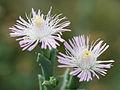 Desert flowers (14932611931).jpg