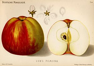 Richard Cox (horticulturist) - Illustration of Cox's pomona.