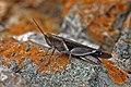Devil grasshopper (Diabolocatantops axillaris axillaris).jpg