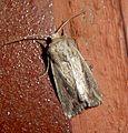 Devonshire Wainscott. Mythimna putrescens - Flickr - gailhampshire.jpg