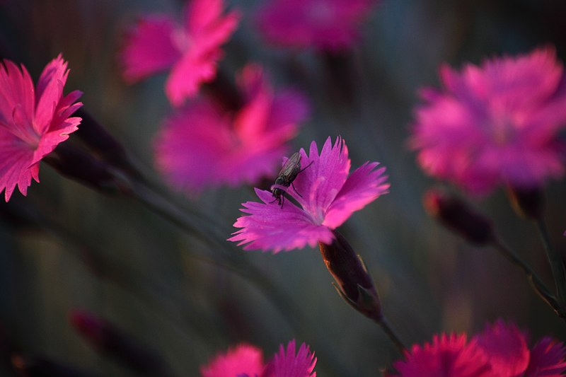 File:Dianthus-burningwitch-insect-fly-flower - West Virginia - ForestWander.jpg