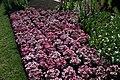 Dianthus chinensis Raspberry Parfait 2zz.jpg