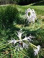 Dianthus superbus subsp. superbus sl5.jpg