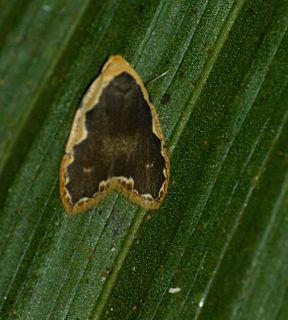 <i>Diduga</i> Genus of moths