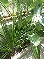 Dietes grandiflora (Iridaceae) plant.JPG