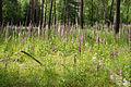 Digitalis purpurea - Purple Foxglove - Roter Fingerhut - Hesse - Germany - 37.jpg