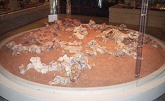 Dicynodont - Dicynodont fossils.