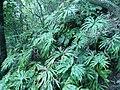 Dipteris conjugata 破傘蕨 001 (天問).jpg