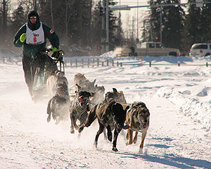 Anthrozoology - Man's best friend: dogsled racing in Alaska