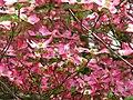 Dogwood-pink-flowers - West Virginia - ForestWander.jpg